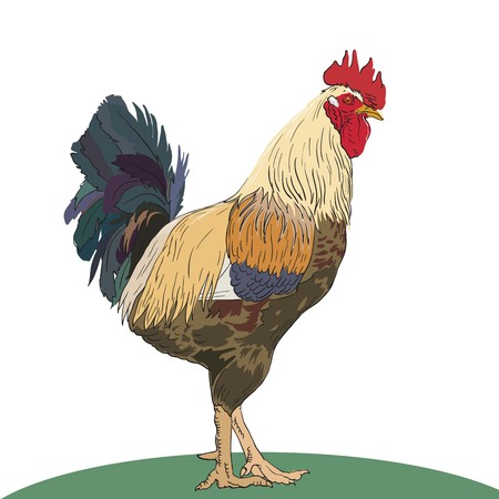 aviculture: Color illustration of a rooster on a white background Illustration