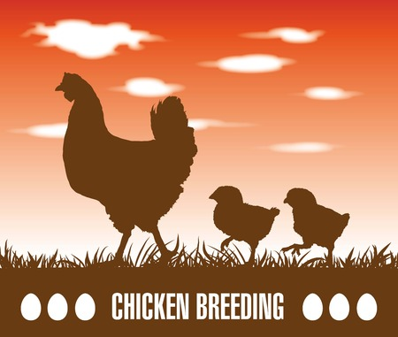 aviculture: silhouette chicken and chicks walking behind her
