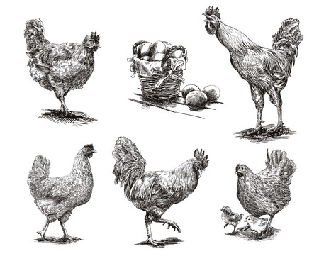 chicken and egg: compilation of hand drawn sketches of roosters and hens