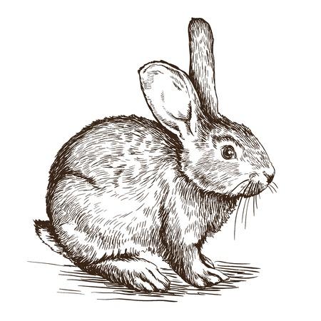 white rabbit: sketch of  rabbit on a white background Illustration