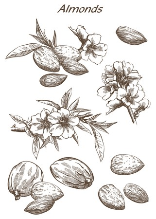 almonds set of vector sketches on an white background Stock Illustratie
