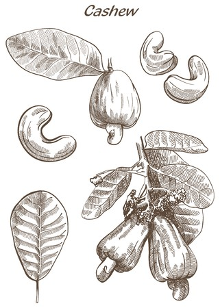 ready to eat: cashew set of vector sketches on an white background Illustration