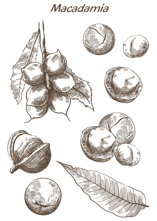 macadamia nut: macadamia nut set of vector sketches on an white background