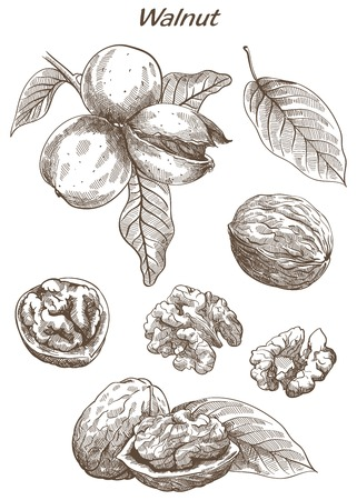 walnut: walnut set of vector sketches on an white background