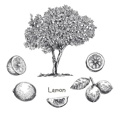 손을 흰색 배경에 스케치 레몬 트리 그린 일러스트