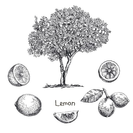 hand drawn sketch lemon tree of  on a white background Vettoriali