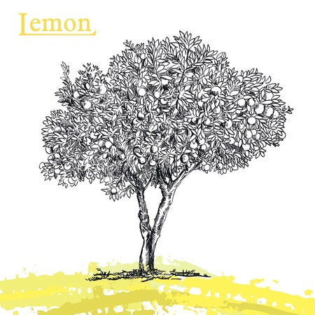 tree decorations: hand drawn sketch lemon tree of  on a white background Illustration