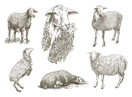 mutton: hand drawn sketch sheep of on a white background