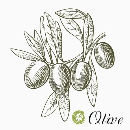 harvesting: hand drawn sketches of olive branch with olives on a white background Illustration