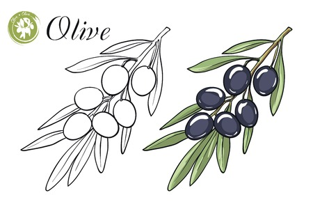 olive: hand drawn sketches of olive branch with olives on a white background Illustration