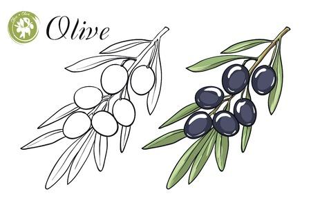 ast: handgezeichnete Skizzen von Olivenzweig mit Oliven auf einem weißen Hintergrund