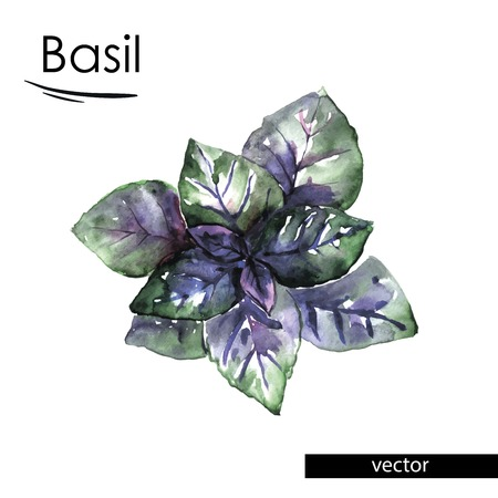 basil: basil color illustration painted with watercolors Illustration