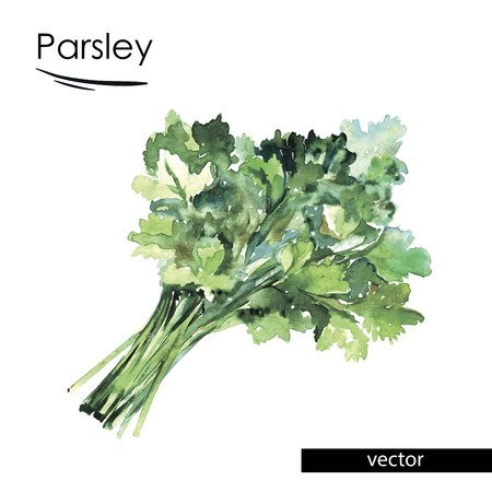 foodstuffs: parsley color illustration painted with watercolors