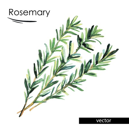rosemary: rosemary color illustration painted with watercolors