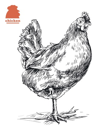 aviculture: chicken standing on one leg. hand drawn sketch