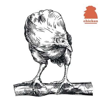 perch: chicken standing on the perch. hand drawn sketch