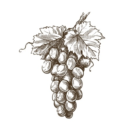 grapevine: hand drawn sketch of grapevine on a white background