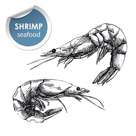 deux crevettes crues. croquis dessinés à la main sur un fond blanc