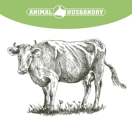 udders: sketch of cow drawn by hand on a white background. livestock. cattle. animal grazing