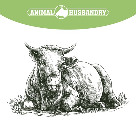 grazing: sketch of cow drawn by hand on a white background. livestock. cattle. animal grazing