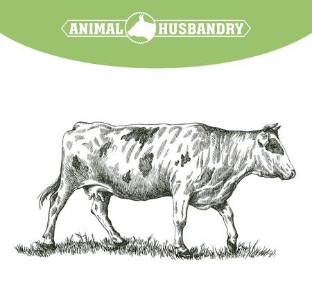 esbozo de vaca dibujado a mano sobre un fondo blanco. ganado. ganado. pastoreo de animales
