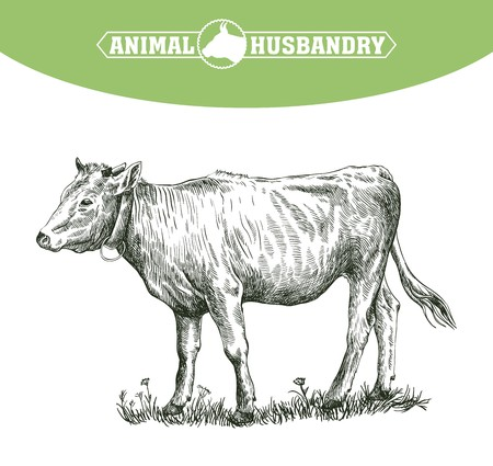 grazing: sketch of calf drawn by hand on a white background. livestock. cattle. animal grazing