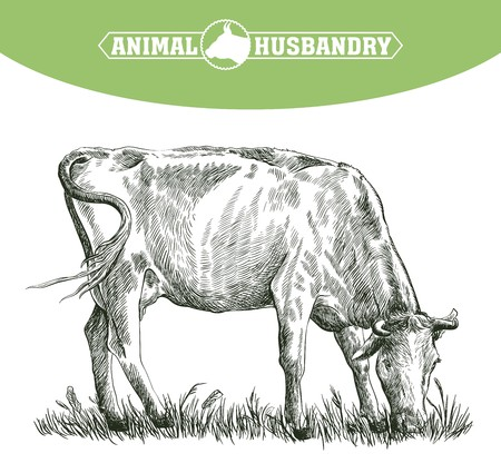 animal breeding: sketch of cow drawn by hand on a white background. livestock. cattle. animal grazing