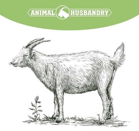farm animal: sketch of goat drawn by hand on a white background. livestock. animal grazing