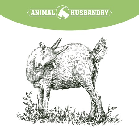 grazing: sketch of goat drawn by hand on a white background. livestock. animal grazing