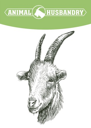 grazing: sketch of goat head drawn by hand on a white background. livestock. animal grazing