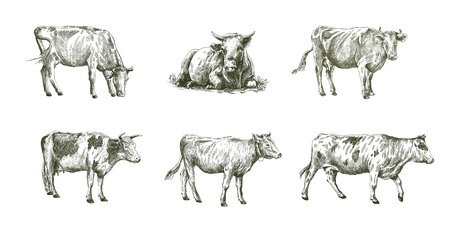grazing: sketches of cows drawn by hand on a white background. livestock. cattle. animal grazing