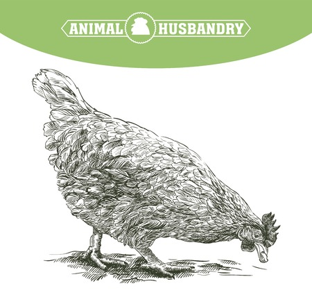 sketch of chicken drawn by hand. poultry breeding.