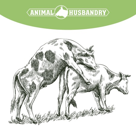 grazing: sketch of cow drawn by hand on a white background. livestock. cattle. zoogamy