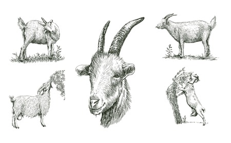 ruminant: sketches of goat drawn by hand on a white background. livestock. animal grazing Illustration