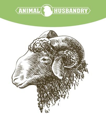 yeanling: hand drawn sketch sheep