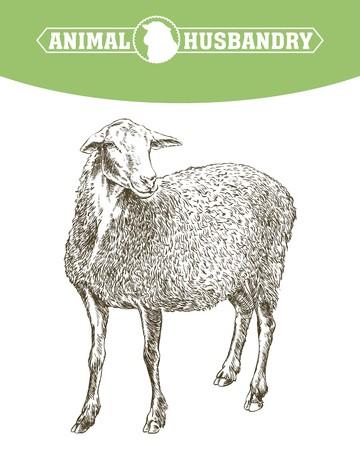 hand drawn sketch sheep
