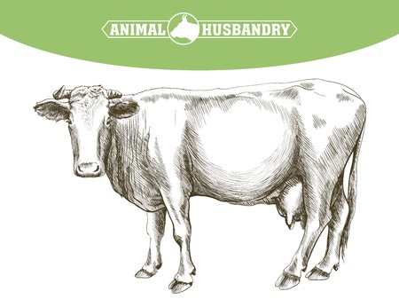 cattle grazing: sketch of cow drawn by hand on a white background. livestock. cattle. animal grazing
