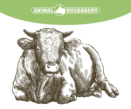 vaca: esbozo de vaca dibujado a mano sobre un fondo blanco. ganado. ganado. pastoreo de animales