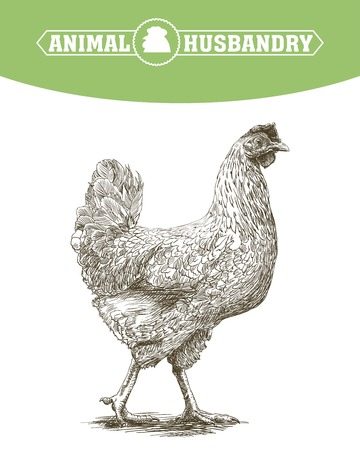 aviculture: chicken breeding. animal husbandry. livestock. vector sketch on a white background