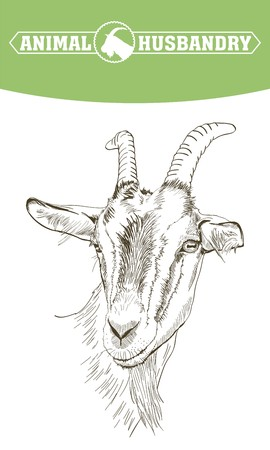 ruminant: sketch of goat drawn by hand on a white background. livestock. animal grazing