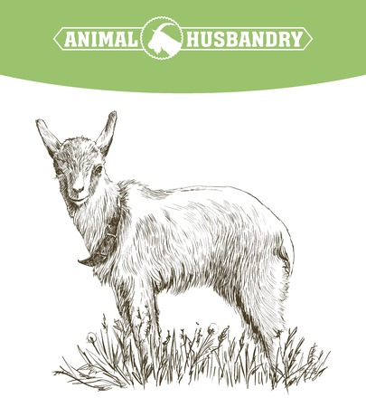 hoofed mammal: sketch of goat drawn by hand on a white background. livestock. animal grazing