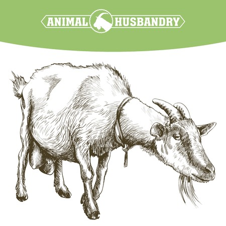 graze: sketch of goat drawn by hand on a white background. livestock. animal grazing