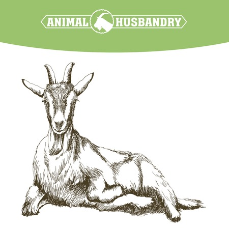 livestock: sketch of goat drawn by hand on a white background. livestock. animal grazing