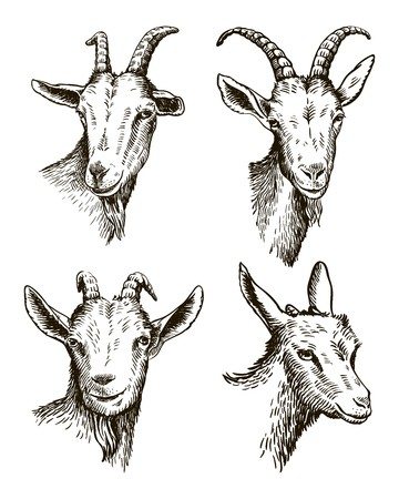 goat head. livestock. animal grazing. sketch drawn by hand.