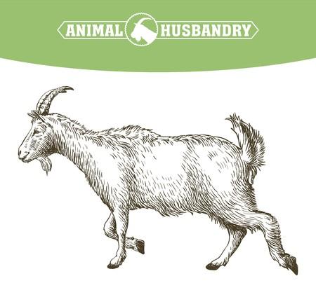 grazing: sketch of goat drawn by hand. livestock. animal grazing