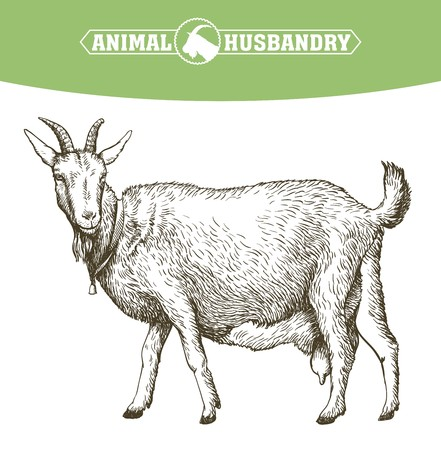 hoofed mammal: sketch of goat drawn by hand. livestock. animal grazing