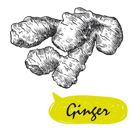 ginger sketch. harvesting