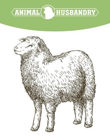sketch of sheep drawn by hand. animal husbandry Ilustração