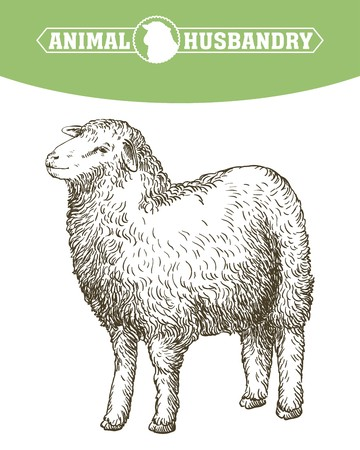 sketch of sheep drawn by hand. animal husbandry Illustration