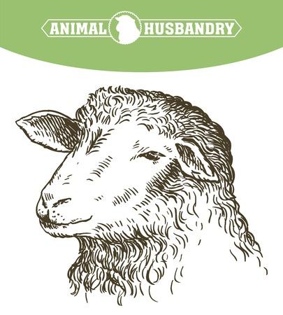 yeanling: Head of a sheep. animal husbandry